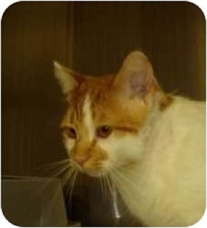 American Shorthair Cat for adoption in Hopkinsville, Kentucky - Tom Tom