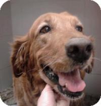 Golden Retriever Mix Dog for adoption in Scottsdale, Arizona - Ginger