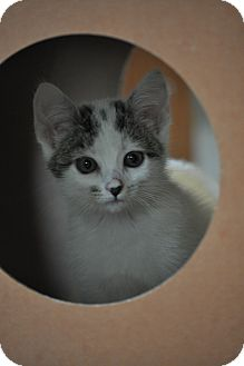 Domestic Mediumhair Kitten for adoption in Modesto, California - Ella
