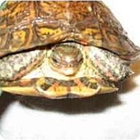 Adopt A Pet :: Myrtle - Las Vegas, NV