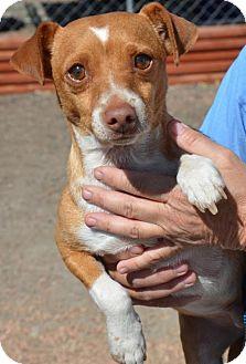 Chihuahua Dog for adoption in Aurora, Colorado - Pancho