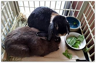 Lop, Holland Mix for adoption in Los Angeles, California - Lucy