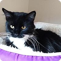 Adopt A Pet :: Bellatrix - Chicago, IL