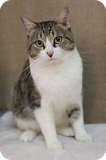 Domestic Shorthair Cat for adoption in Midland, Michigan - Chadwick - $10!
