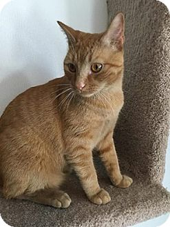 Domestic Shorthair Cat for adoption in Hanna City, Illinois - Pooh