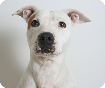 Pit Bull Terrier Mix Dog for adoption in Redding, California - Janie