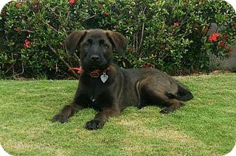 Weimaraner/Corgi Mix Puppy for adoption in Gloucester, Massachusetts - Kimba