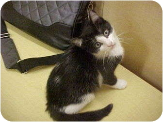 Domestic Shorthair Kitten for adoption in Jenkintown, Pennsylvania - Kate