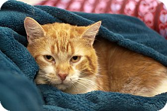 Domestic Shorthair Cat for adoption in london, Ontario - Rusty
