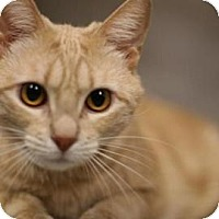 Domestic Shorthair Cat for adoption in New York, New York - Peaches