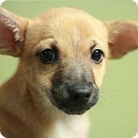Adopt A Pet :: Tiki - Canoga Park, CA