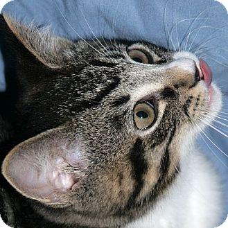 Domestic Shorthair Kitten for adoption in Port Angeles, Washington - Boo Boo