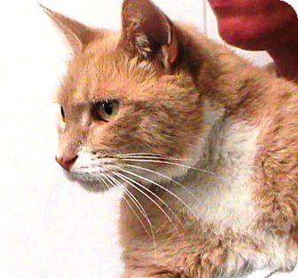 Domestic Shorthair Cat for adoption in Maynardville, Tennessee - Jasper