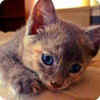 Adopt A Pet :: Romana - St. Louis, MO