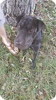 Shar Pei Mix Dog for adoption in Mira Loma, California - Jade in CO