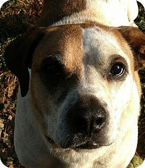 Pit Bull Terrier Mix Dog for adoption in Bakersville, North Carolina - Mannie