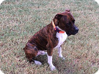 Boxer Mix Puppy for adoption in Austin, Texas - Mac