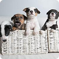 Adopt A Pet :: Antonline Litter - Inglewood, CA