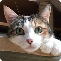 Calico Cat for adoption in St. Louis, Missouri - Josie