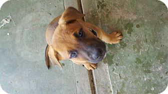 Doberman Pinscher/Boxer Mix Puppy for adoption in Bakersfield, California - Barney