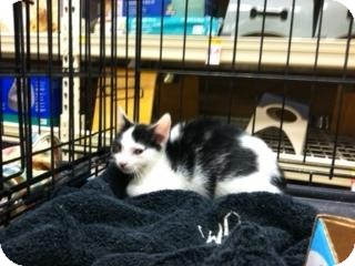Maine Coon Kitten for adoption in Cranford/Rartian, New Jersey - Sassy