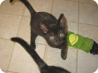 Domestic Shorthair Kitten for adoption in Hamilton, New Jersey - SMOKEY-2012