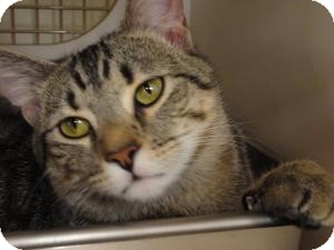 Bengal Cat for adoption in Medford, New Jersey - Brownie (Belle's kitten)