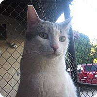 Domestic Shorthair Cat for adoption in Los Angeles, California - Greta Garbo