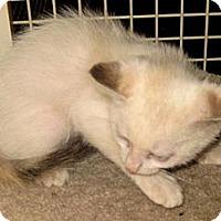 Adopt A Pet :: Ricatta - Dallas, TX