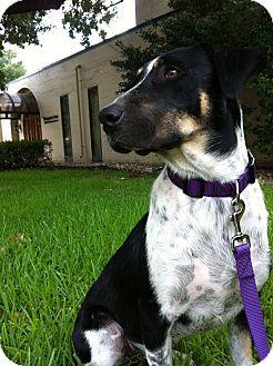 Blue Heeler/Australian Shepherd Mix Puppy for adoption in Kaufman, Texas - Thunder