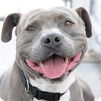 Adopt A Pet :: Magic Mike (Courtesy Listing) - La Habra, CA