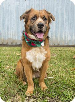 Golden Retriever/Australian Shepherd Mix Dog for adoption in Houston, Texas - Gable
