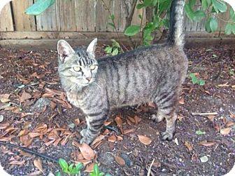 Domestic Shorthair Kitten for adoption in Sacramento, California - Kitty
