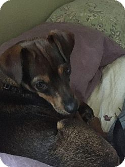 Chihuahua/Miniature Pinscher Mix Dog for adoption in Rexford, New York - Jazzy
