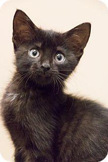 Domestic Shorthair Kitten for adoption in Chicago, Illinois - Little Richard
