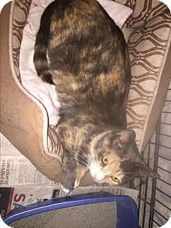 Calico Cat for adoption in Jersey City, New Jersey - Sparkle