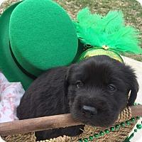 Adopt A Pet :: Acacia's Puppy AZA (Azalea) - Murrells Inlet, SC