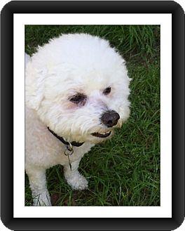 Bichon Frise Dog for adoption in Tulsa, Oklahoma - Adopted!! Rocky - TX