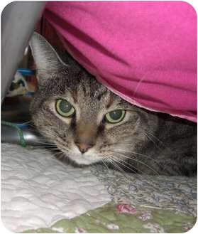 Domestic Shorthair Cat for adoption in Chesapeake, Virginia - Nelly