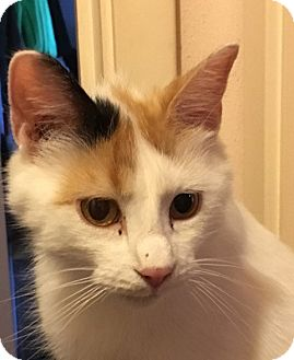 Calico Cat for adoption in Rockford, Illinois - Trinity