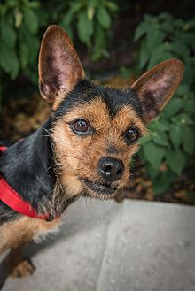 Chihuahua Mix Dog for adoption in New York, New York - Lila