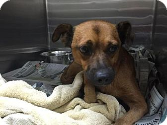 Terrier (Unknown Type, Small) Mix Dog for adoption in Miami, Florida - Rusty