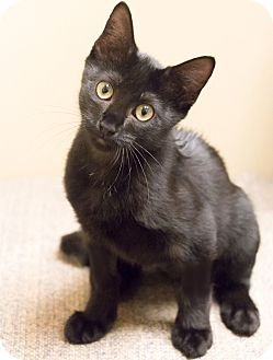 Domestic Shorthair Kitten for adoption in Chicago, Illinois - Miles