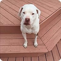 Adopt A Pet :: Angel (COURTESY POST) - Baltimore, MD