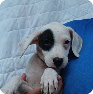 Beagle Mix Puppy for adoption in Oviedo, Florida - Val