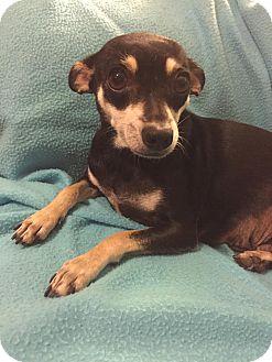 Chihuahua Mix Dog for adoption in DFW, Texas - Ladybug