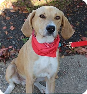 Labrador Retriever/Saluki Mix Dog for adoption in Cincinnati, Ohio - Archie