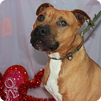 American Staffordshire Terrier Mix Dog for adoption in Erwin, Tennessee - Dexter