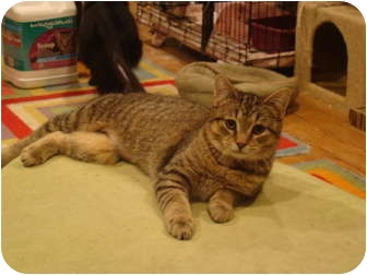 Domestic Shorthair Cat for adoption in Muncie, Indiana - Yoko--PETSMART