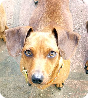 Dachshund Dog for adoption in San Jose, California - Chloe